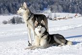picture of husky sled dog breeds  - Portrait of siberian husky sled dog at snowy winter - JPG