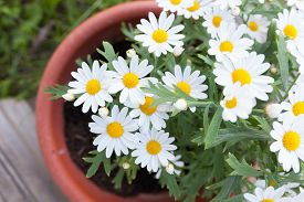 picture of pot-bellied  - Daisies in a pot viewed from above at home garden - JPG