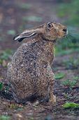 Постер, плакат: Портрет сидя Браун заяц