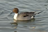 foto of pintail  - northern pintail is swimming on the lake - JPG