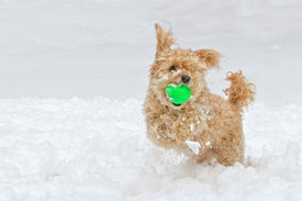 stock photo of cockapoo  - a capture of a little  cockapoo dog playing ball in the snow - JPG