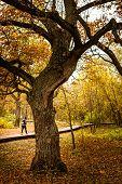Oak Tree In An Autumn Park. poster