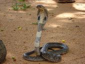 stock photo of king cobra  - Aggressive Sri Lankan cobra with flattened hood sri lankaceylon - JPG