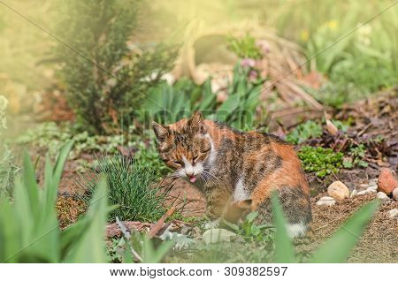 poster of Cat Sits In The Garden With Tongue Sticking Out. Calico Cat Tongue Licking His Nose