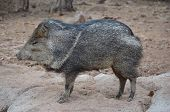 stock photo of javelina  - A javelina standing sideways on a rock - JPG