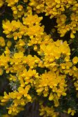 Evergreen Bush With Flowering And Blooming Gorse Flowers. poster