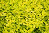 Spring Garden Beauty. Bush Of Bright Yellow Leaves Growing In Garden. Ornamental Garden Plant With Y poster