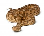 stock photo of saharan  - Saharan horned viper  - JPG