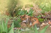 Cat Sits In The Garden With Tongue Sticking Out. Calico Cat Tongue Licking His Nose poster