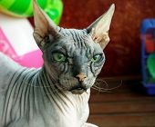 Old Pedigreed Cat Breed Don Sphinx, Close-up Portrait poster
