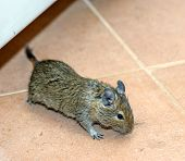 pic of mouse  - One home mouse running on the floor - JPG