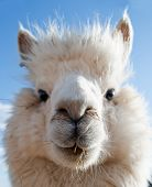 pic of alpaca  - Head of a white Alpaca with blue Sky - JPG