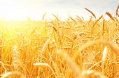 picture of steppes  - wheat field - JPG