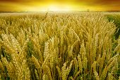pic of dick  - Golden wheat field before the harvest of the autumn harvest - JPG