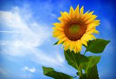 stock photo of cumulus-clouds  - Beautiful sunflower against blue sky - JPG