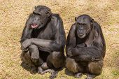 stock photo of chimp  - Male adult chimps sitting next to a female chim carrying its baby - JPG