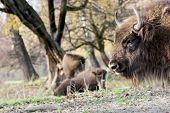 European Bison (bison Bonasus) Graze In The Wild