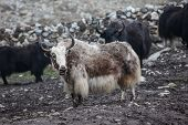 stock photo of yaks  - Himalayan Yaks In Herd, Nepal, tibet, mountain,