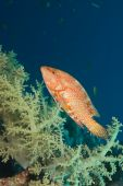 A Coral Hind Or Grouper (cephalopholis Miniata) And Soft Coral poster