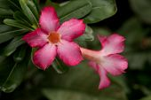 picture of desert-rose  - Pink Impala Lily Or Desert Rose Flowers - JPG