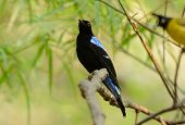 picture of bluebird  - beautiful male Asian Fairy Bluebird (Irena puella) resting in branch