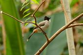 picture of bulbul  - beautiful Sooty - JPG
