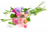 image of sweetpea  - sweet peas multicolor flowers on a white - JPG