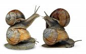 stock photo of hermaphrodite  - Garden snail  - JPG