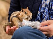 pic of tame  - Cute tame and friendly chipmunk in hand of lady as she feeds him seeds and nuts from a plastic bag - JPG