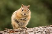 picture of chipmunks  - Cute tame and friendly chipmunk posing for camera with a quizzical expression as if to say who me - JPG