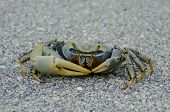 picture of blue crab  - A curious blue crab scuttles across the pavement in a park in the Florida Keys - JPG