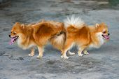 pic of mating  - male and female pomeranian dog mating - JPG