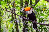 pic of toucan  - The bird Toucan in National park Iguazu - JPG