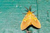 foto of moth  - Orange moth lymantriidae resting on green wall - JPG