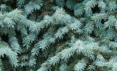 pic of blue spruce  - Close up of a blue spruce tree - JPG