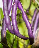 pic of long tongue  - Long pods purple beans - JPG
