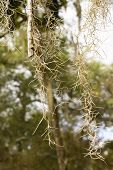 pic of tillandsia  - Close up of Spanish Moss in Florida - JPG