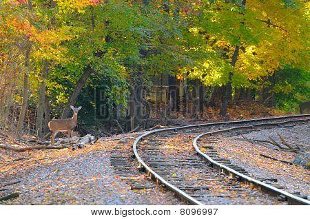 Deer On Track