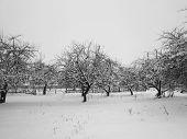 stock photo of abundance  - Trees in the winter garden prytrusheni abundant snow during snowfall - JPG