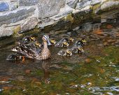 image of water-mill  - Mother duck with nine ducklings in a small stream - JPG