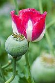 stock photo of opiate  - Pink Opium poppy field - JPG