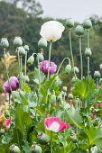 stock photo of opiate  - Colorful of Opium poppy  field - JPG