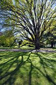 stock photo of plant species  - Christchurch botanical gardens new zealand is the home of this beautiful tree established in 1868 the garden mixes native forest with planted species - JPG