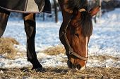 picture of horses eating  - Bay horse eating hay in cold winter - JPG