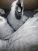 image of smuggling  - Illegally transported and confiscated African grey parrot (Psittacus erithacus) inside the crate