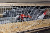 picture of smuggling  - Illegally transported and confiscated African grey parrots (Psittacus erithacus) in a crate