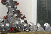 picture of smuggling  - Crowd of illegally transported and confiscated African grey parrots (Psittacus erithacus) in a quarantine