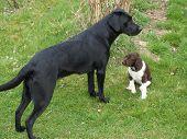 foto of bohemia  - a young labrador retriever together puppy Munsterlander South Bohemia Czech Republic  - JPG