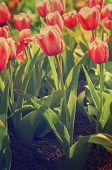 Постер, плакат: Red beautiful tulips
