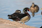 image of duck-hunting  - A beautiful Wood Duck getting ready to enter the lake - JPG
